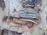 Ganoderma adspersum image