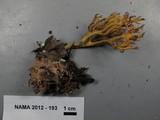 Ramaria curta image