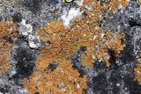 Caloplaca subsoluta image