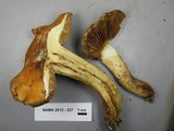 Image of Cortinarius appennini