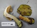 Cortinarius viridirubescens image