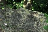 Physciella chloantha image