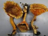 Hygrophoropsis rufa image