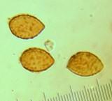 Cortinarius oliveopetasatus image