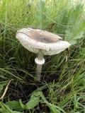 Macrolepiota phaeodisca image