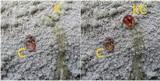 Pertusaria lactea image