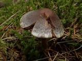 Cortinarius diasemospermus image