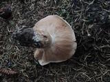 Tricholoma albobrunneum image