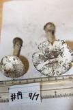 Amanita virosiformis image
