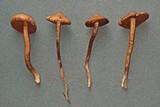 Cortinarius laetus image