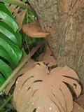 Ganoderma oerstedii image