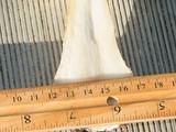 Amanita persicina image