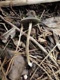 Panaeolus guttulatus image