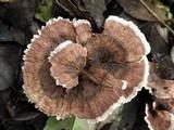 Hydnellum concrescens image