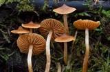 Cortinarius acutus image