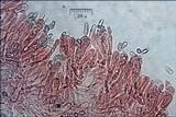 Ramaria aurea image