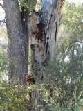 Inonotus munzii image