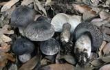 Tricholoma atrosquamosum image