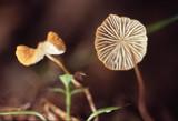 Marasmius armeniacus image