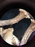 Lentinus tigrinus image