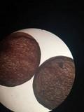 Zelleromyces cinnabarinus image