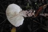 Leucoagaricus cupresseus image