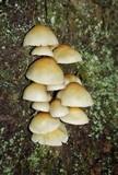 Hypholoma capnoides image