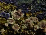 Porostereum crassum image