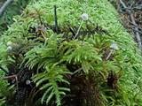 Mycena cinerella image