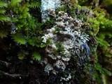 Image of Ramaricium flavomarginatum