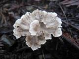 Cotylidia diaphana image