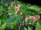 Hydnellum aurantiacum image