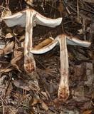 Amanita brunneolocularis image