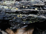 Phaeohelotium umbilicatum image