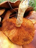 Gymnopilus ventricosus image