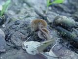 Lyophyllum anthracophilum image