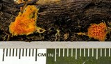 Hydnophlebia chrysorhiza image