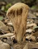 Clavariadelphus pistillaris image