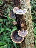 Microporus affinis image