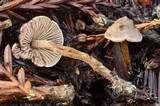 Pseudobaeospora stevensii image