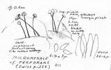 Gymnopus perforans image