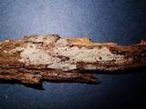 Aphanobasidium pseudotsugae image