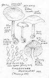 Rhodocybe nuciolens image