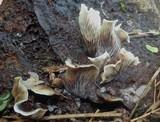 Omphalotus nidiformis image