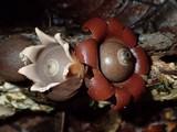 Geastrum javanicum image