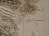 Geoglossum glutinosum image
