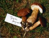 Tylopilus ferrugineus image