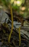Clavaria flavipes image