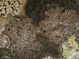 Umbilicaria krascheninnikovii image