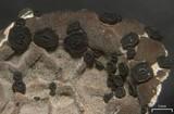 Umbilicaria virginis image